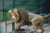 Big Manes Make Rasta Lions Special [LiveScience 2012-10-11]