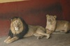 Unique Lions of Ethiopia - Addis Ababa Zoo lions [LiveScience 2012-10-11]