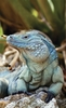 Blue Iguana Slithers Back from Extinction [LiveScience 2012-10-22]