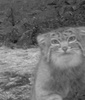 Sneaky Cat Caught on Camera in Himalayas [LiveScience 2012-10-29]