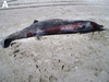 World's Rarest Whale Seen for First Time [LiveScience 2012-11-05]
