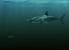 Who's Your Daddy? For Great White Shark, Maybe It's Mako [LiveScience 2012-11-14]