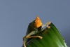 Tiny Katydid Ears Look Remarkably Human [LiveScience 2012-11-15]