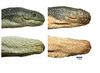 Deadliest Sea Snake Is 2 Separate Species [LiveScience 2012-12-10]