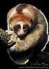 In Photos: Cute New Slow Loris Species - Kayan loris (Nycticebus kayan) [LiveScience 2012-12-13]