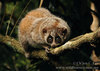 In Photos: Cute New Slow Loris Species - pygmy slow loris (Nycticebus pygmaeus) [LiveScience 201...