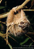 ...In Photos: Cute New Slow Loris Species - pygmy slow loris (Nycticebus pygmaeus) [LiveScience 201