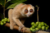 ...In Photos: Cute New Slow Loris Species - Sunda slow loris (Nycticebus coucang) [LiveScience 2012