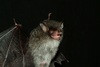 Walking Catfish, Demon Bat Among 126 New Mekong Species [LiveScience 2012-12-19]