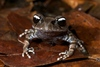 ...Singing frog among 36 new species found in Vietnam: Black-and-white eyed frog [TuoitreNews 2012-