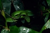 ...Singing frog among 36 new species found in Vietnam: Ruby-eyed pit viper (Trimeresurus rubeus) [T