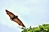 Ryukyu flying fox (Pteropus dasymallus)