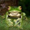 New giant flying frog discovered near city of 9 million [mongabay.com 2013-01-09]