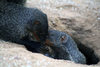 Mongoose Calls More Humanlike Than Thought [LiveScience 2013-01-15]