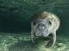 Manatee's Missing Link Found in Africa [LiveScience 2013-01-16]