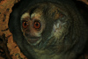 Monogamous Owl Monkeys Have More Babies [LiveScience 2013-01-23]