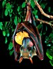 Hammer-headed bat (Hypsignathus monstrosus)