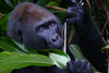 Gorillas to Be Protected with New Congo National Park [LiveScience 2013-01-31]