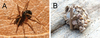 2 Newfound Wasps Parasitize Ant-Eating Spiders [LiveScience 2013-02-04]
