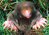 Moles Smell the World from Both Sides [LiveScience 2013-02-05]