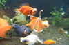 Wheelchair for a fish: Disabled goldfish gets a tiny life preserver [FeckTV 2013-02-07]