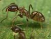 'Alien' Argentine Ants May Have Met Their Match [LiveScience 2013-02-11]