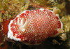 Hermaphrodite Sea Slug Mates With Throwaway Penis [LiveScience 2013-02-12]