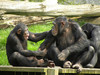 Chimps Have Better Short-term Memory Than Humans [LiveScience 2013-02-16]