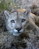 Fun Facts About Pumas [LiveScience 2013-02-20]