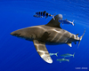 Whitetip Sharks' Amazing Long-Distance Voyage Revealed [LiveScience 2013-02-20]