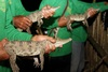 Rare Baby Crocs Released in Wild [LiveScience 2013-02-22]