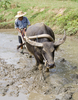 Fun Facts About Buffaloes [LiveScience 2013-02-25]