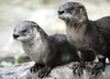 What Otters' Penis Shrinkage Could Mean for Humans [LiveScience 2013-02-26]