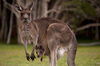 Fun Facts About Kangaroos [LiveScience 2013-02-25]