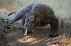 Fun Facts About Komodo Dragons [LiveScience 2013-02-25]
