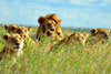 Fun Facts About Lions [LiveScience 2013-02-25]