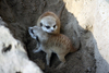 Fun Facts About Meerkats [LiveScience 2013-02-25]
