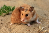 Fun Facts About Hamsters [LiveScience 2013-02-15]