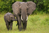 Fun Facts About Elephants [LiveScience 2013-02-21]