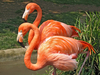 Fun Facts About Flamingos [LiveScience 2013-02-21]