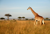 Fun Facts About Giraffes [LiveScience 2013-02-22]