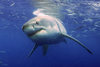 Fun Facts About Great White Sharks [LiveScience 2013-02-22]
