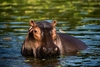 Fun Facts About Hippos [LiveScience 2013-02-22]