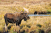 Fun Facts About Moose [LiveScience 2013-02-25]