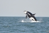 Fun Facts About Orcas [LiveScience 2013-02-25]