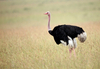 Fun Facts About Ostriches [LiveScience 2013-02-25]