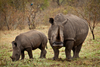 Fun Facts About Rhinos [LiveScience 2013-02-25]