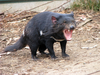 Fun Facts About Tasmanian Devils [LiveScience 2013-02-25]