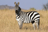 Fun Facts About Zebras [LiveScience 2013-02-25]