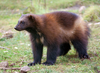Fun Facts About Wolverines [LiveScience 2013-02-26]